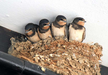 Chicks of swallows wait for food