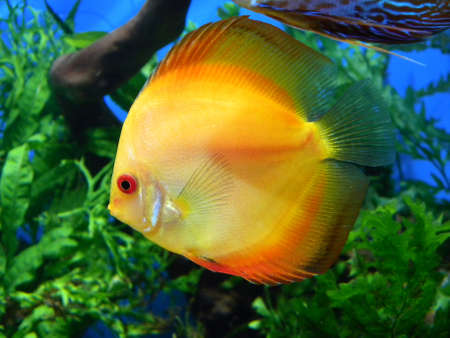 A discus fish swims in a aquarium Stock Photo - 17687332