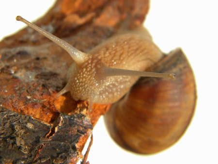 graden: A graden snail on a bark Stock Photo