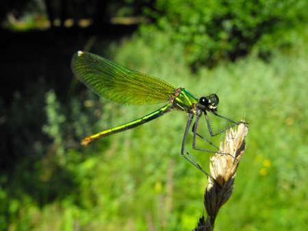 damselfly: A green damselfly waiting Stock Photo