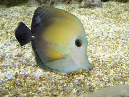 surgeon fish: Un pez cirujano