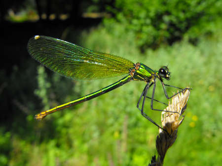 A green damselfly waiting for a photo photo