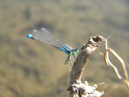 A blue damselfly near a water photo