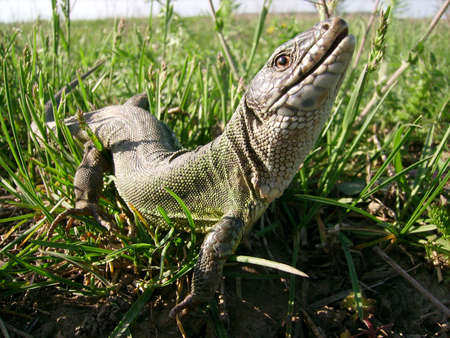 A big lizard in the grass photo