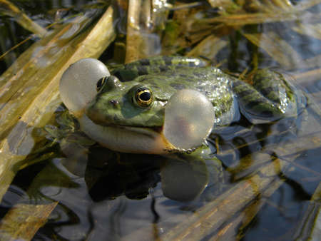 A male frog singing in the lake photo