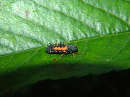 lady bird: A  lady bird larva