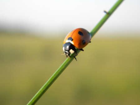 lady bird: A lady bird on a grass thread  Stock Photo