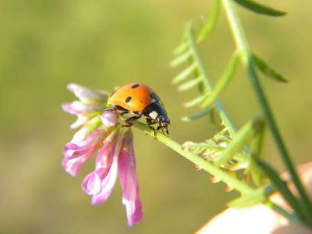 lady bird: A lady bird on a flower