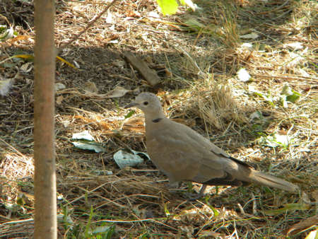 A ring dove in the garden Reklamní fotografie