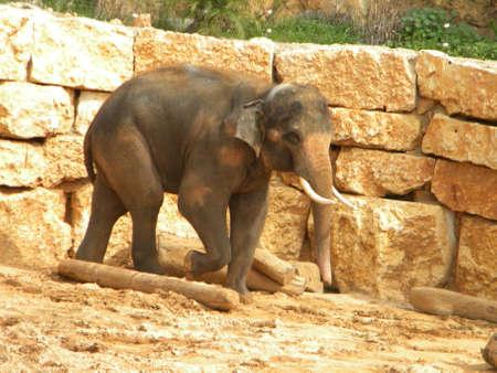 An Asian elephant Reklamní fotografie