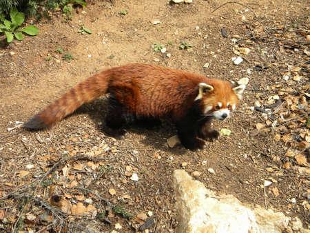 A red panda walking Reklamní fotografie