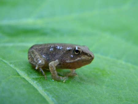 A common frog froglet  Reklamní fotografie