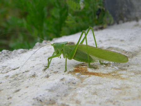 A big green grasshopper