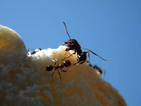 Ants cutting bread