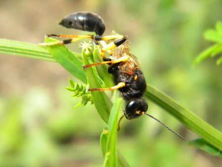 A big black wasp