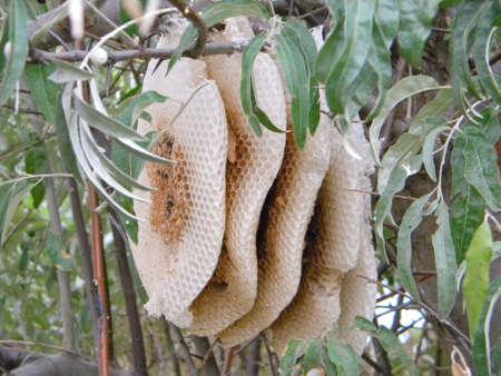 Wild bees honey combs
