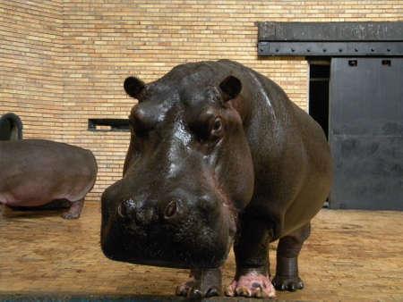A hippo male Reklamní fotografie