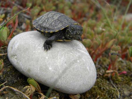An European water turtle baby Reklamní fotografie