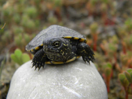 baby turtle: A baby turtle on a stone Stock Photo