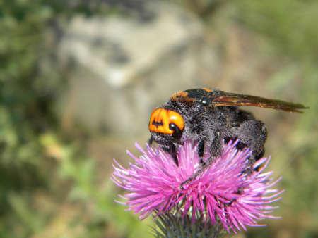 A mammoth wasp on a purple flower Reklamní fotografie