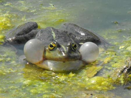 An amphibian singing