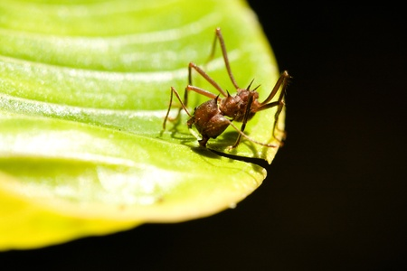 leaf cutter ant: Leaf cutter Ant cutting away at large leaf in tropical forest of Panama Stock Photo