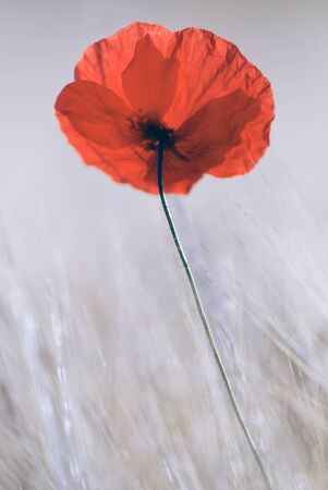 an isolated red poppy Stock Photo