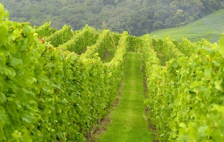 wineyard: wineyard in the east of france