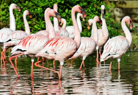 pink flamingo standing in water photo