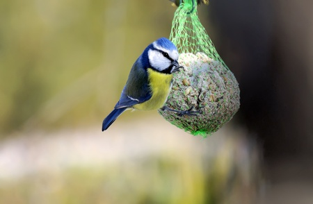 a chickadee is pecking  food in winter Archivio Fotografico
