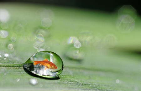buble: A goldfish in a drop of water