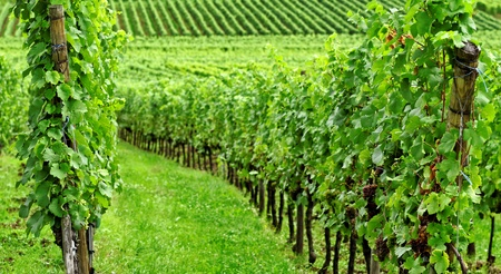 wineyard in the east of france photo