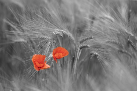 poppies in wheat field photo