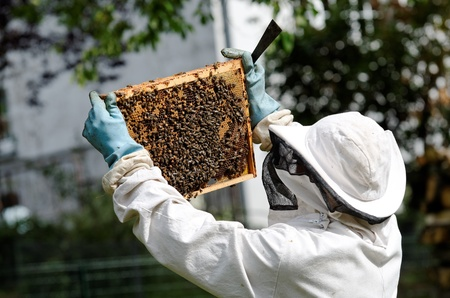 apiarist: a beekeeper at work
