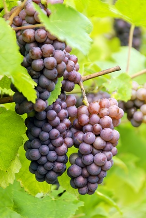 Cluster of red grapes on white background.