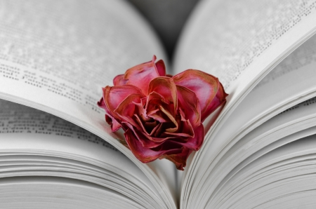 a faded rose between the pages of a book Stock Photo - 14084669