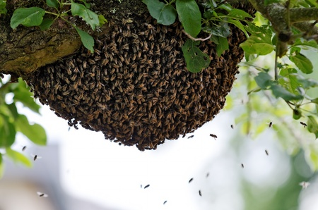 congregate: a swarm of bees in a tree Stock Photo