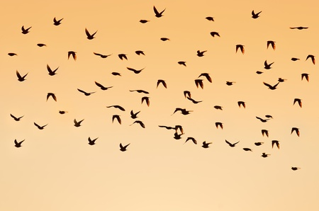 vacance: Silhouette crow birds flying Stock Photo