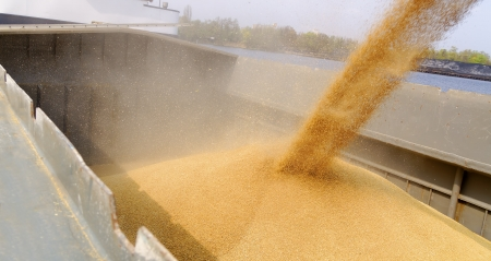 grain and cereal products: loading barge with a crop of wheat grain