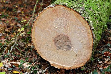 sawed: a sawed tree trunk