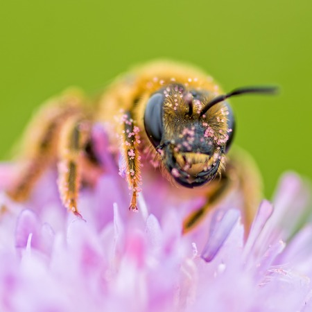 pollinators: bee coverd with purple pollen