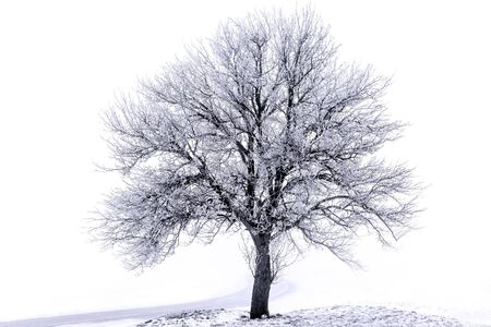 wintertime: isolated tree in wintertime