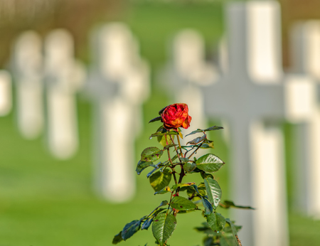 red rose on american war cemetery background Archivio Fotografico