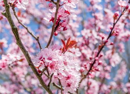 myrobalan: beautiful branch of cherry plum tree