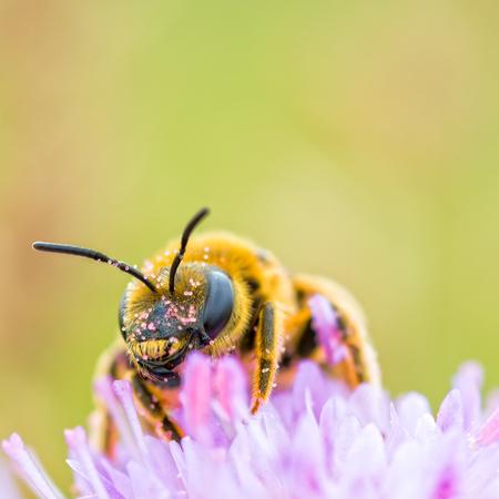 bee: bee collecting pollen Stock Photo