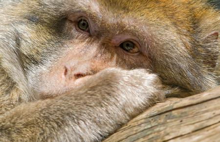barbary ape: a monkey daydreaming in the sun Stock Photo