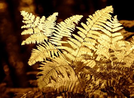 helechos: helechos en luz del otoño