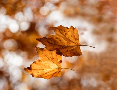 sicomoro: due foglie di platano volare in aria