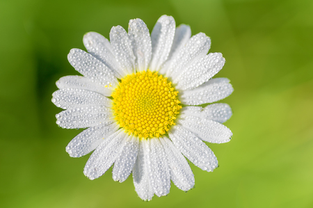 daisy flower overview