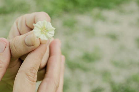 The hand of a woman holding a small white flower, close up of a detail of nature, interaction of human with nature. 版權商用圖片